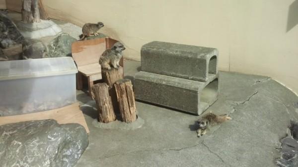 上尾丸山公園の小動物コーナーにいるミーアキャット