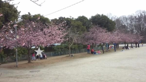 上尾丸山公園の多目的広場に咲いている桜