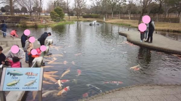 さいたま水族館の中の鯉にエサをあげている様子