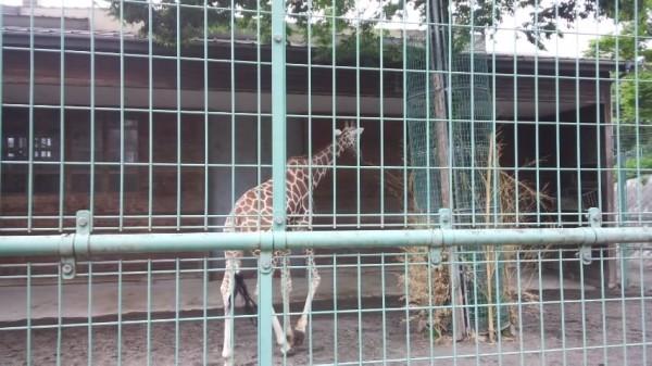 桐生が岡動物園のキリン「コタロウ」