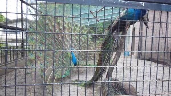 桐生が岡動物園のクジャクが羽を広げているところ