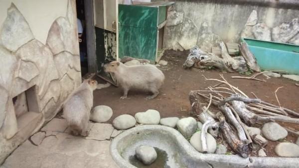 桐生が岡動物園のカピバラ