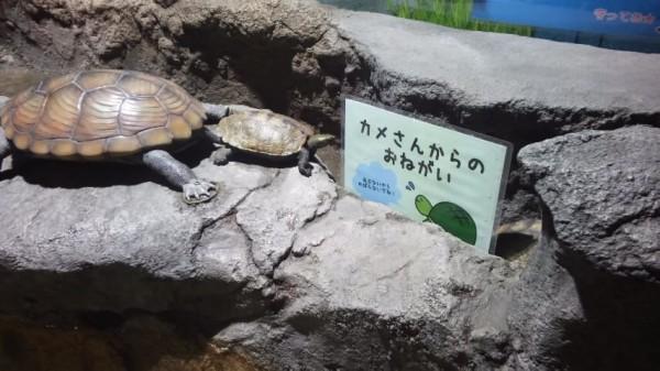 さいたま水族館のカメ、ザリガニふれあいコーナー