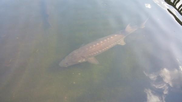 さいたま水族館のチョウザメ池