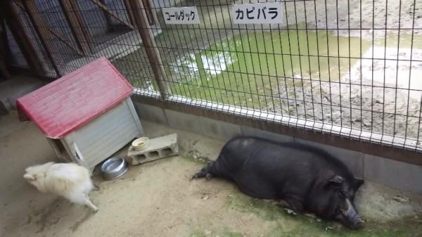 渋川動物園内で寝っ転がっている放し飼いの黒ブタ