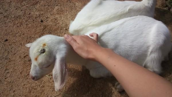 渋川動物園の放し飼いの子ヤギをなでなで