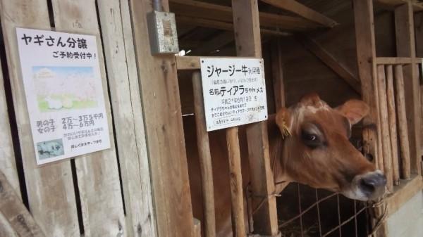 渋川動物園の牛さん