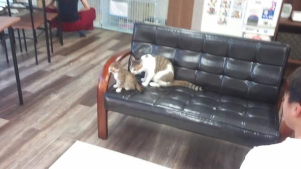 ねこランドのソファにいる子猫と成猫