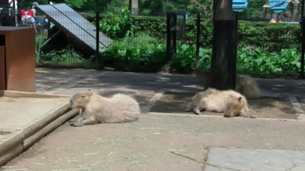 埼玉県東松山市こども動物自然公園 カピバラ